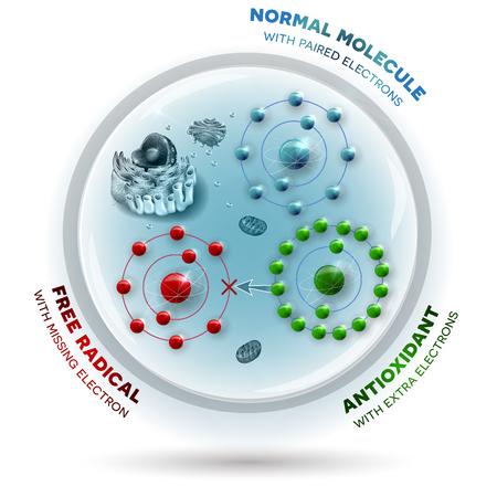 microbiologia: Tres moléculas dentro de la célula humana: Radicales libres con electrón perdido, Molécula estable normal con electrones pareados y Antioxidante con electrones extra que pueden ser donados a radicales libres