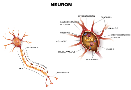 Neuron, nerve cell that is the main part of the nervous system, close up illustration. Cross section detailed anatomy, nucleus and other organelles of the cell.