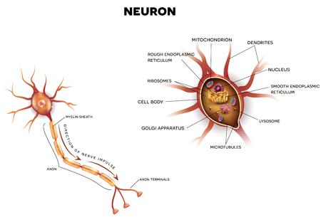 Neurona, Célula Nerviosa Que Es La Parte Principal Del Sistema ...