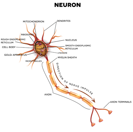 neurone: Neuron, nerve cell that is the main part of the nervous system. Cross section detailed anatomy, nucleus and other organelles of the cell.