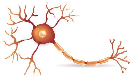 Anatomie des cellules nerveuses illustration détaillée