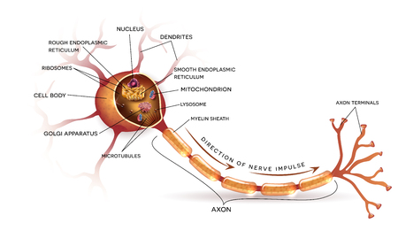 Neuron, nerve cell that is the main part of the nervous system. Cross section detailed anatomy, nucleus and other organelles of the cell.