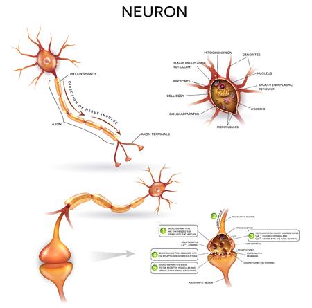 Neuron, cellule nerveuse, ensemble d'illustrations rapprochées. Synapse anatomie détaillée, neurone passe le signal à un autre neurone. Section transversale, noyau et autres organites de la cellule. Illustration
