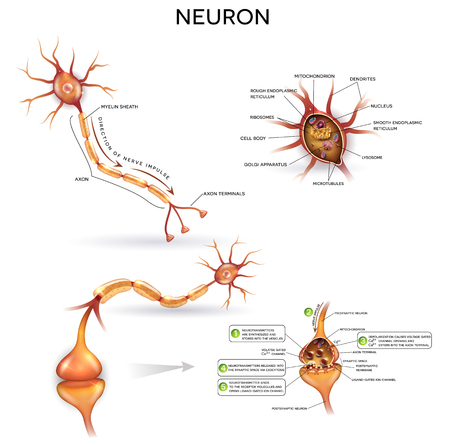 Neuron, nerve cell, close up illustrations set. Synapse detailed anatomy, neuron passes signal to another neuron. Cross section, nucleus and other organelles of the cell.