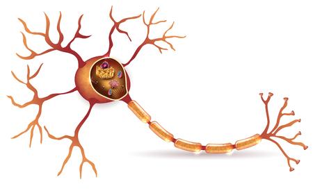 뉴런, 신경 세포 organeles와 해부학 횡단면 자세한 일러스트 레이션 일러스트