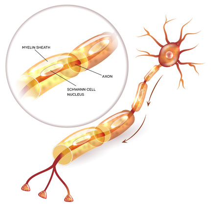Neuron, nerve cell axon and myelin sheath  substance that surrounds the axon close-up detailed anatomy illustration