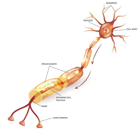 Neuron, axone des cellules nerveuses et substance de la gaine de myéline qui entoure l'illustration anatomique détaillée de l'axone