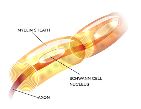 axon: Neuron, nerve cell axon and myelin sheath  substance that surrounds the axon detailed anatomy illustration