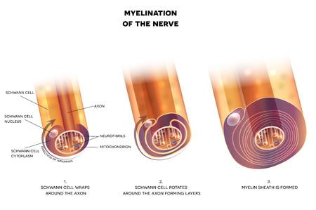 Myelination of nerve cell. Myelin sheath surrounds the axon close-up detailed anatomy illustration Ilustração Vetorial