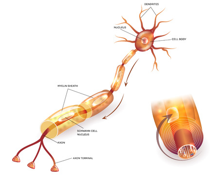 Myelination of nerve cell. Myelin sheath surrounds the axon close-up detailed anatomy illustration