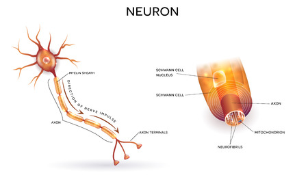 neurone: Close up of nerve cell and myelin sheath Illustration