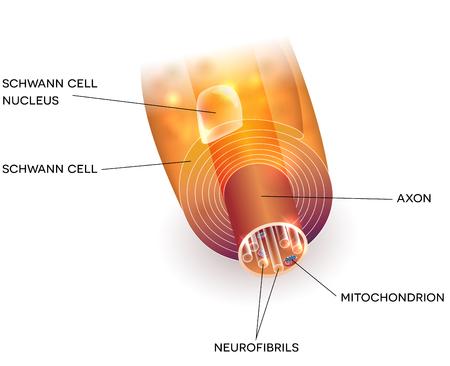 Gros plan d'une axone de cellules nerveuses et d'une gaine de myéline