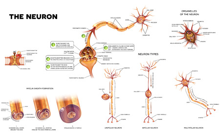 Neuron detailed anatomy illustrations. Neuron types, myelin sheath formation, organelles of the neuron body and synapse. Illustration