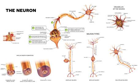 Neuron détaille des illustrations anatomiques. Types de neurones, formation de gaine de myéline, organelles du corps du neurone et synapse. Illustration