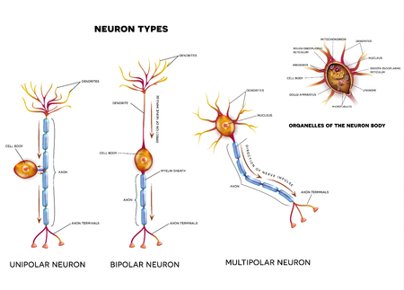 impulse: Nerve cell types and organelles of the cell body Close-up detailed anatomy illustration