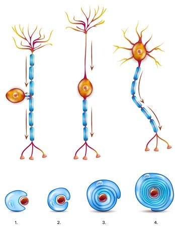 Types de cellules nerveuses et stades de formation de gaine de myéline Illustration
