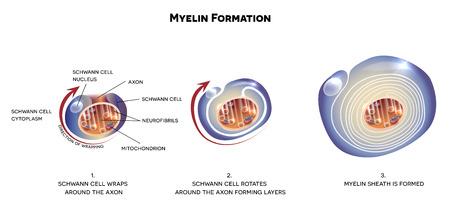 Myeline schede van de neuron