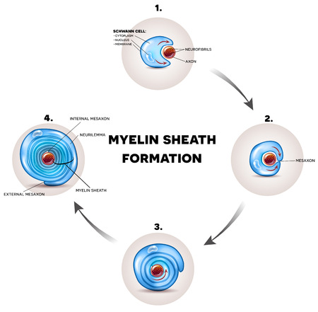 De gedetailleerde illustratie van de myelineschede, het omringt het axon van zenuwcel, vormt vettige substantie elektrisch isolerende deklaag.