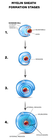 Myelin sheath development, it forms fatty substance around axon of the neuron forming electrically insulating coating.