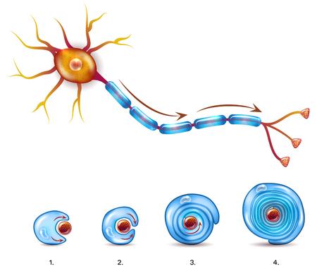 Anatomie du neurone et formation de gaine de myéline autour de l'axone