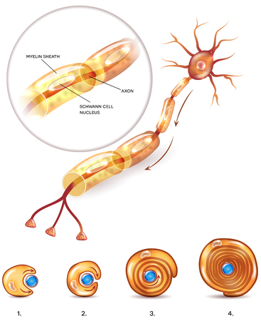 Neuron anatomy 3d illustration close up and myelin sheath formation around axon Stock Illustratie