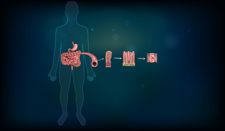 Intestine lining detailed anatomy, a fold of the intestinal lining, villi and epithelial cell with microvilli