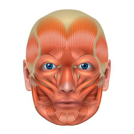les muscles du visage de l & # 39 ; anatomie du puzzle isolé sur un fond blanc