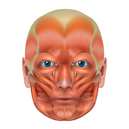 Spieren van het gezicht gedetailleerde heldere anatomie geïsoleerd op een witte achtergrond
