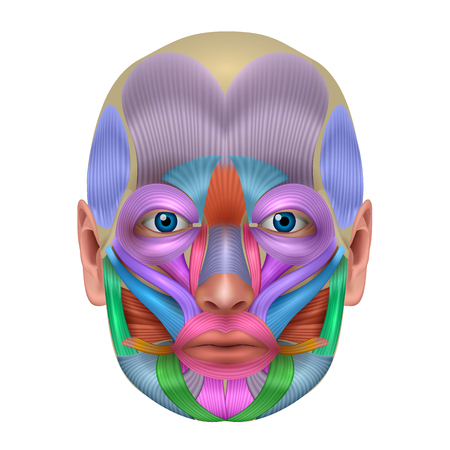 Muscles of the face structure, each muscle pair illustrated in a bright color, detailed anatomy isolated on a white background.