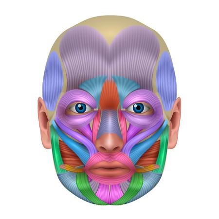 Muskeln der Gesichtsstruktur, jedes Muskelpaar veranschaulicht in einer hellen Farbe, ausführliche Anatomie lokalisiert auf einem weißen Hintergrund.