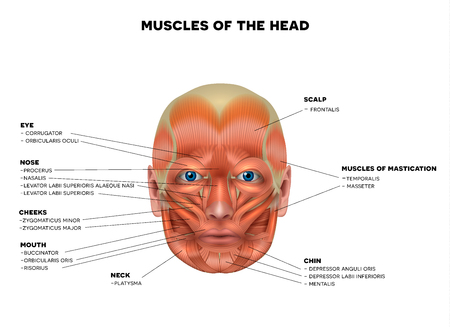 Muscles of the face and the name of each muscle, detailed bright anatomy isolated on a white background.