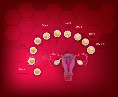 Fertilization and embryo development from ovulation till Blastocyst implantation in the uterus. Stock Vector - 93657350