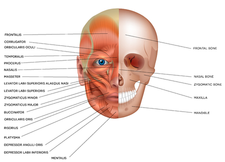 I muscoli e le ossa del viso hanno dettagliato l'anatomia luminosa isolata su una priorità bassa bianca. Vettoriali