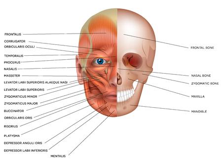 Spieren en botten van het gezicht gedetailleerde heldere anatomie geïsoleerd op een witte achtergrond. Vector Illustratie