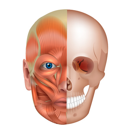 Muscles and bones of the face detailed bright anatomy isolated on a white background. Vettoriali