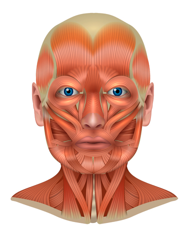 Muscles of the face and neck detailed bright anatomy isolated on a white background Vettoriali