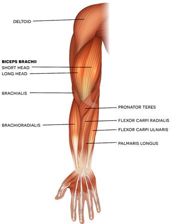 Músculos de la mano y el brazo hermosa ilustración brillante sobre un fondo blanco. Ilustración de vector