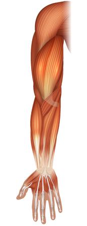 Muscoli della mano e del braccio bella illustrazione luminosa su sfondo bianco