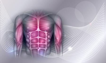 Muscoli del corpo umano, addome, petto e braccia, bella illustrazione colorata su uno sfondo astratto. Vettoriali