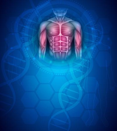 Muscoli del corpo umano, busto e braccia in forma, bella illustrazione colorata su sfondo blu astratto.