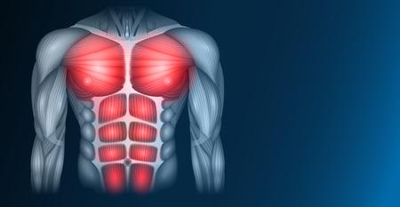 Muscles du corps humain, du torse et des bras, belle illustration colorée sur fond bleu foncé. Vecteurs