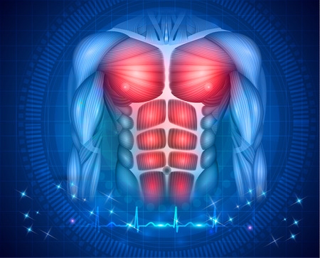 Muscles of the human body, torso and arms, beautiful colorful illustration on an abstract blue background and normal cardiogram at the bottom. 向量圖像