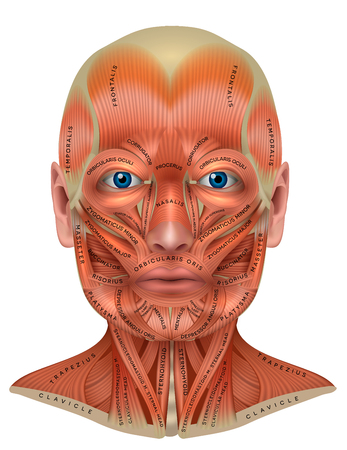 Gesichts- und Nackenmuskulatur detaillierte bunte Anatomie isoliert auf weißem Hintergrund Vektorgrafik