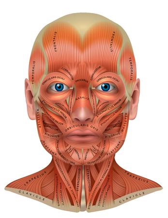 Muscoli del viso e del collo dettagliata anatomia colorata isolata su uno sfondo bianco Vettoriali