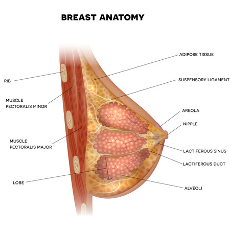 Female Breast anatomy detailed colorful illustration with info text Vettoriali