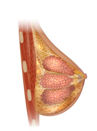 Female Breast anatomy detailed illustration on a white background