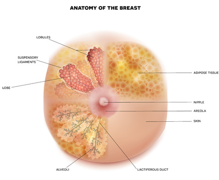 Female Breast anatomy and physiology diagram detailed colorful realistic medical illustration on a white background. Women chest, breast Lobules, mammary glands, milk ducts hystology