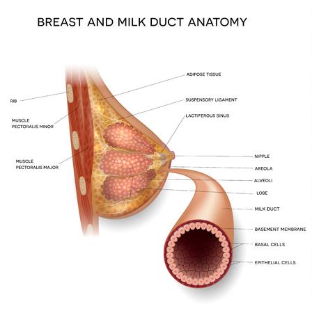 Illustration colorée détaillée de l'anatomie du sein féminin et du conduit de lait normal