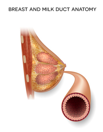 Female Breast and normal milk duct anatomy detailed colorful illustration