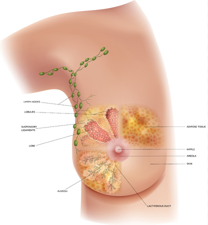 Female Breast anatomy and axillary Lymph nodes detailed colorful illustration